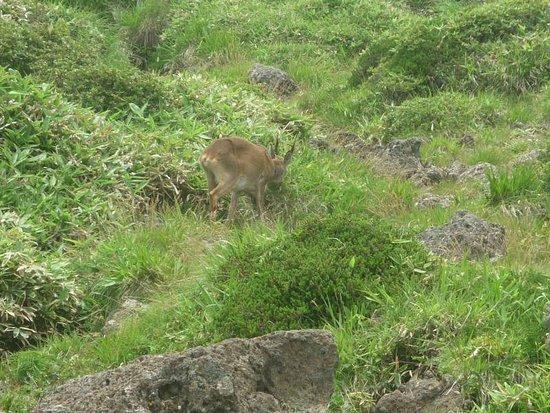 Hallasan National Park: Me Halla deer