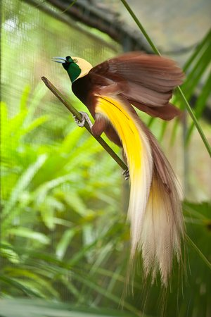 Gianyar, Indonesië: Lesser Bird of Paradise