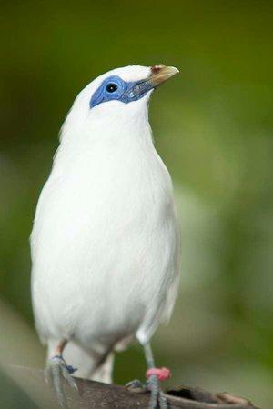 Bali Bird Park: Bali Myna