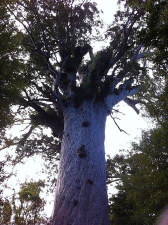 Waipoua Forest, Nueva Zelanda: Kauri
