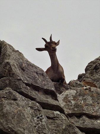Alora, Spanien: El Torcal-una cabra