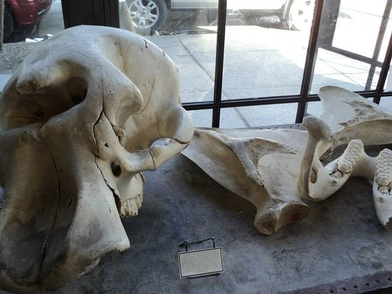 Elephant skull, mistaken for a cyclops in antiquity - Picture of ...