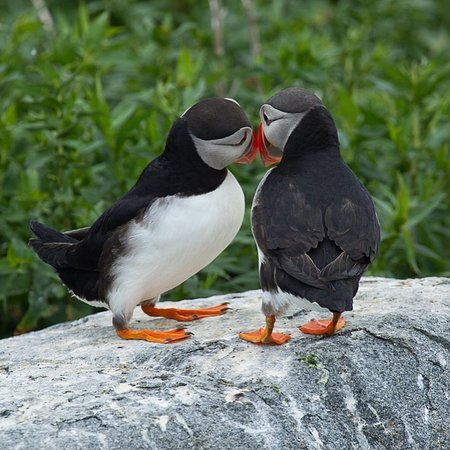 Jonesport, ME: Affectionate Puffins