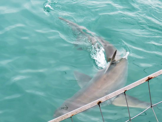 Kleinbaai, Sudáfrica: 3m Great White Shark curious about the cage