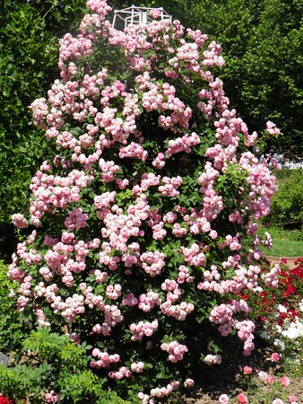 Europas Rosengarten: Rosengarten