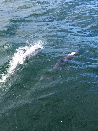 Durrus, Irlanda: Dolphins beside the boat