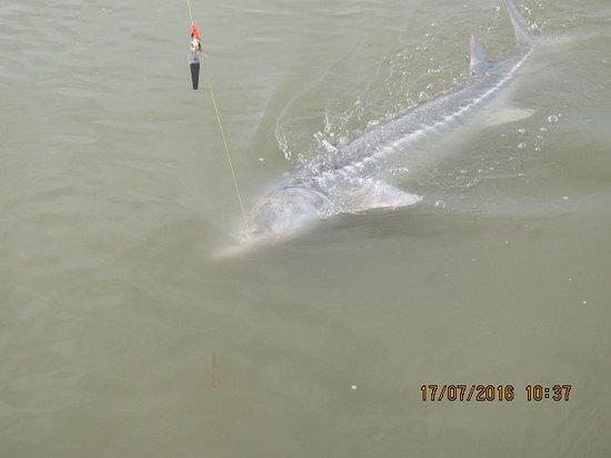 STS Guiding Service Day Trips: Estimated 130lb Sturgeon caught on the Fraser River July 2016