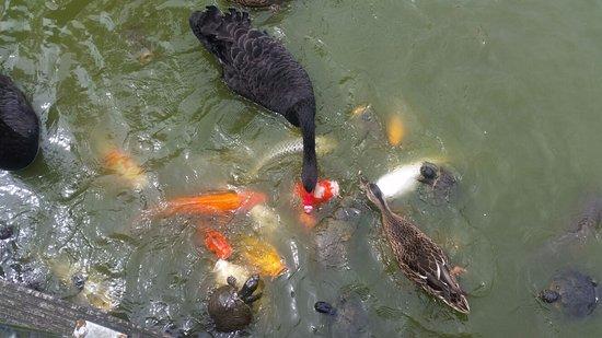 Veldhoven, Países Bajos: Vijver met kooikarpers eenden zwanen en schildpadden