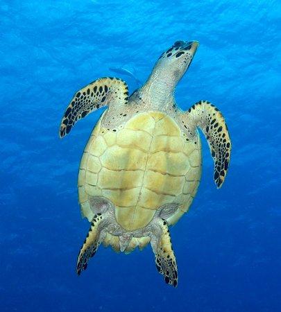 Bouillante, กวาเดอลูป: Belle tortue que l'on peu croisée dans l'eau sur la plage. A voir chez Atlantis Formation.