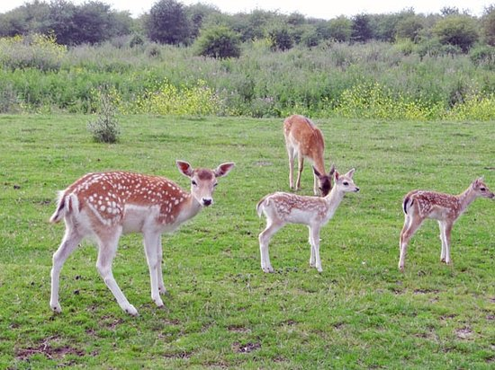Wageningen, The Netherlands: deer