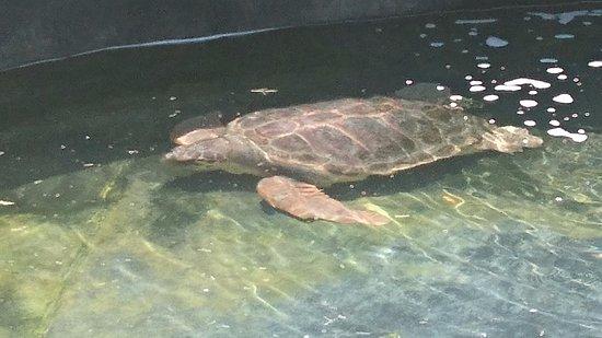 Turtle in rehabilitation tank - Εικόνα του Sea Turtle ...