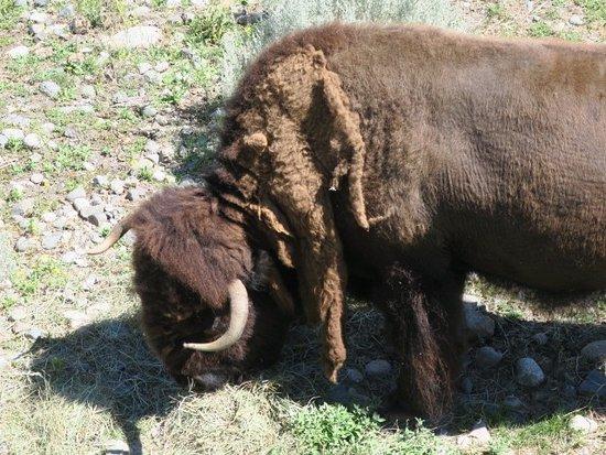 Kamloops Wildlife Park: Big shaggy fellow