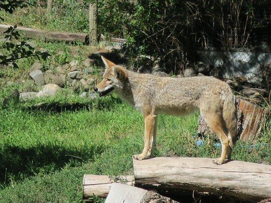 Kamloops Wildlife Park: very cute coyotes