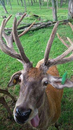 Catawissa, Pensilvania: Big bucks at Red deer at Rolling Hills