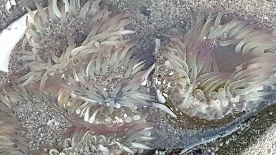 Charleston, OR: Anemones in the tide pools and on the rocks.