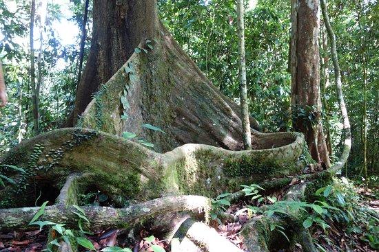 Lahad Datu, Malaysia: Amazing Trees