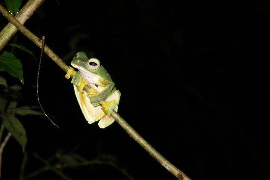 Lahad Datu, Malaysia: Flying Frog from a night walk
