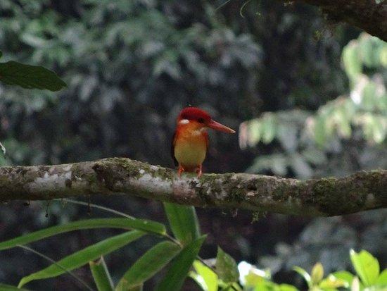Lahad Datu, Malaysia: King Fisher bird