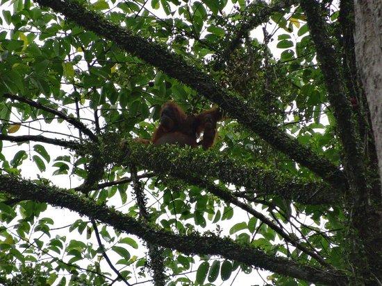 Lahad Datu, Malaysia: Mother and child orangutan