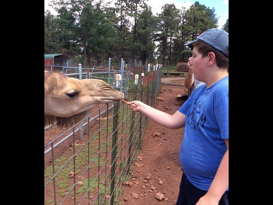 Williams, AZ: Gracie the camel