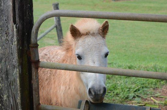 Malanda, Australia: Pony