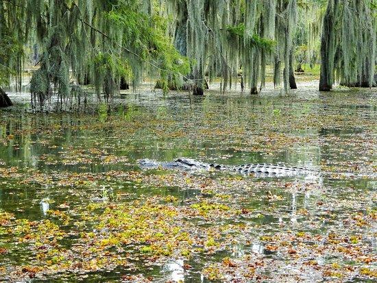 Lake Martin : Enough gators but plenty other wildlife to see