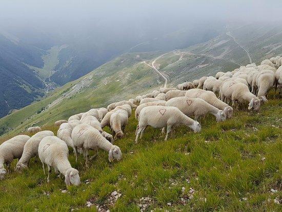 Agriturismo Le Castellare: Gregge di pecore sulle pendici del Monte Sibilla