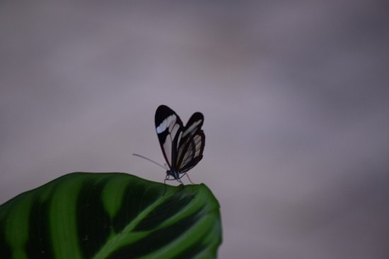 Lost Iguana Resort & Spa: glasswing butterfly on our walk to breakfast
