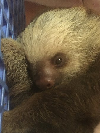 Sloth Sanctuary of Costa Rica (Aviarios del Caribe): Infant sloths in the NICU. All lost their mommies...
