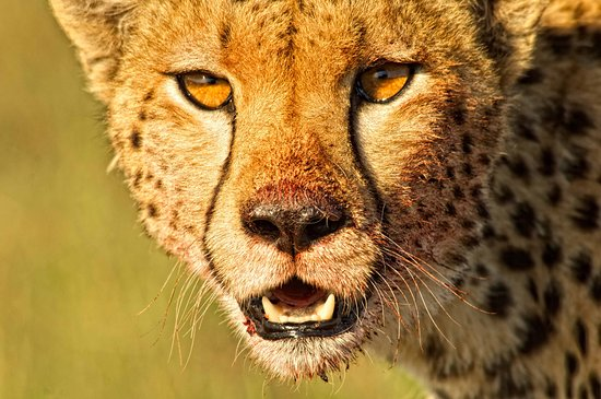 Mara Bush Houses, Asilia Africa: A Cheetah seen after a kill on a Game Drive