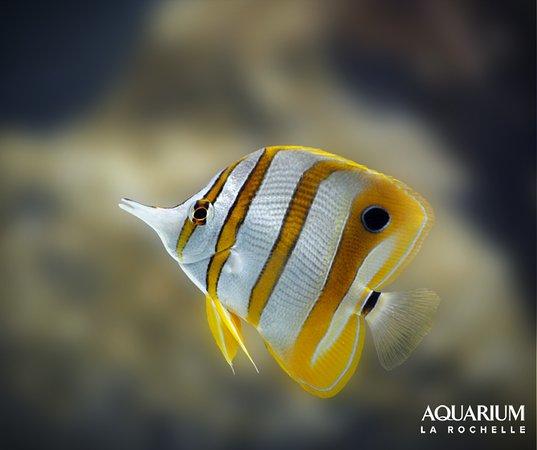 Aquarium La Rochelle: Poisson papillon à bec