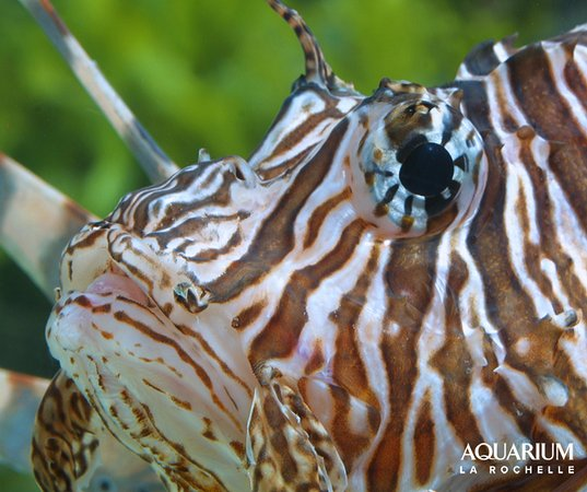 Aquarium La Rochelle: Rascasse volante