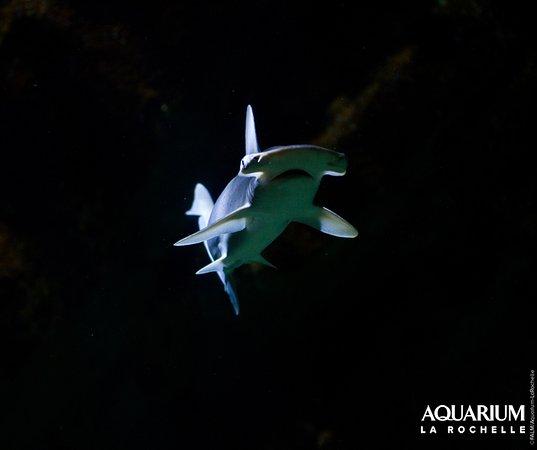 Aquarium La Rochelle: Requin marteau tiburo
