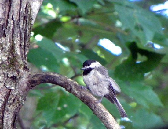 Whittier, Caroline du Nord : Carolina Chickadee