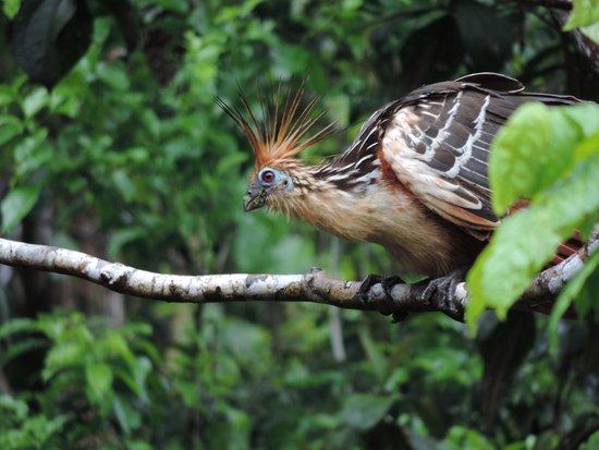 Cuyabeno Lodge: Opisthocomus hoazin