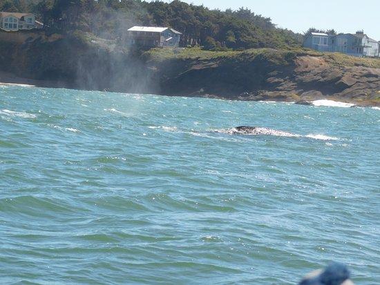 Depoe Bay, OR: Grey whale sighting