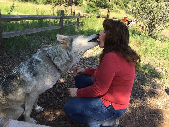 Woodland Park, CO: No dances with wolves, but there were walks, howls & kisses!