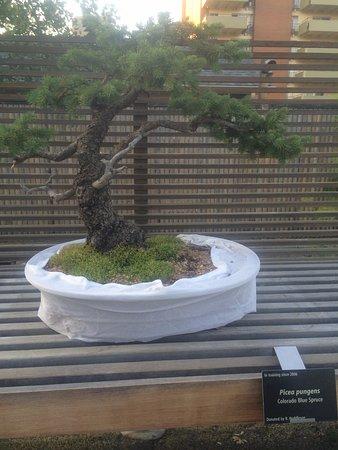 Denver Botanic Gardens: Colorado Blue Spruce bonsai