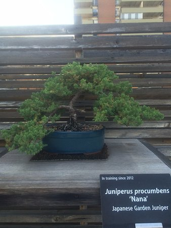 Denver Botanic Gardens: Nice little juniper bonsai