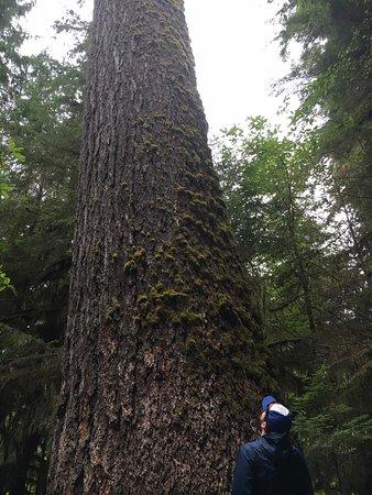 Quinault, WA: Huge Douglas Fir