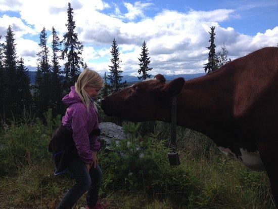 Tinn Municipality, Norwegia: Nærkontakt med melkekua