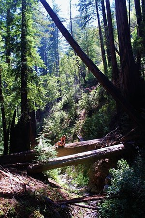 Big Sur Campground & Cabins: Redwood trees (Hiking)