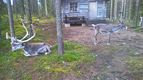 Salla, Finlandiya: Some reindeers inside the park