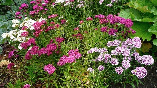 Oeillets du po te picture of inverewe garden poolewe - Oeillet du poete ...