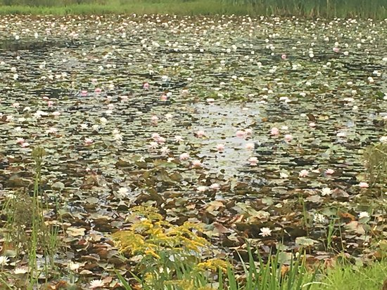 Williamstown, MA: This is not a painting! It is the lily pond outside the museum!