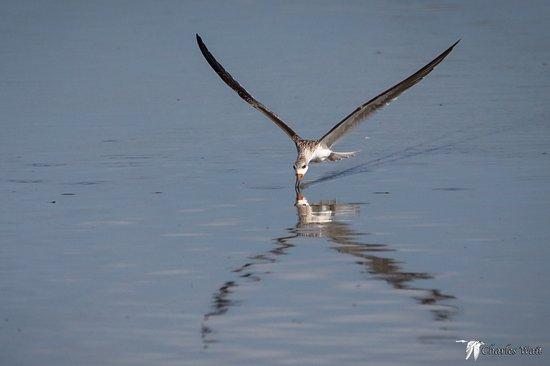 Freeport, TX: First Year Black Skimmer working Olney Pond