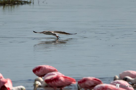 Freeport, TX: Back Skimmer in a sea of Spoonbills