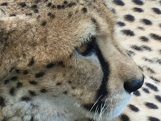 Yulee, Флорида: cheetah up close