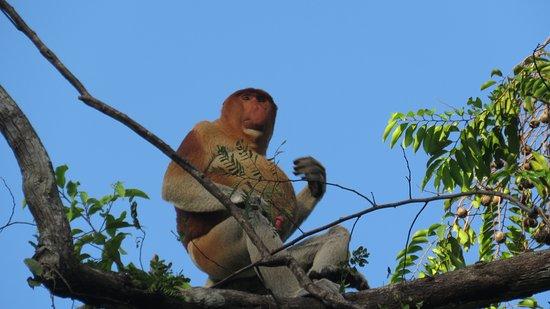 Sukau, Malezya: Proboscis monkey, Kinabatangan