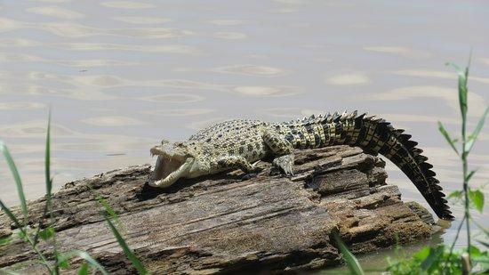 Sukau, Malezya: Saltwater crocodile, Kinabatangan